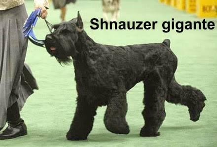 schnauzer gigante negro